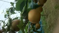 飯田果樹園 PickUp画像