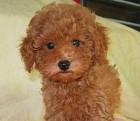 子犬販売のWANWANWAN日優犬千葉 PickUp画像