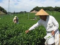 深蒸し茶静岡茶のまるさん共栄製茶農協 PickUp画像