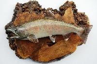 魚類剥製 フィッシュクラフト マツモト PickUp画像