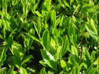 鈴木茶苑 画像