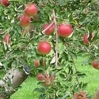 篠根果樹園 PickUp画像
